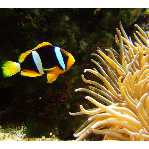 Amphiprion Clarkii (Indian)