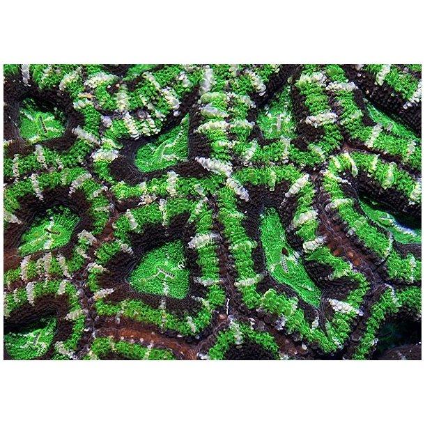 Acanthastrea Lordhowensis (Green Premium)