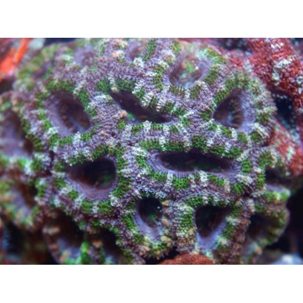 Acanthastrea Lordhowensis (Green)