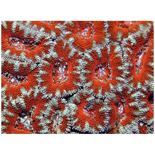 Acanthastrea Lordhowensis (Red Premium)