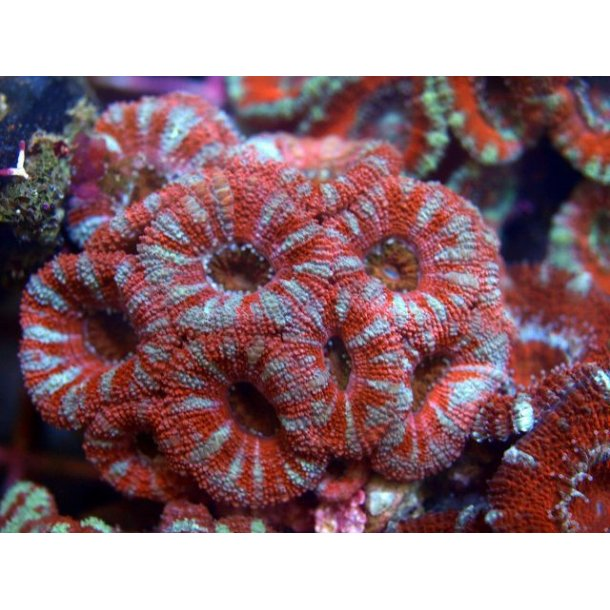 Acanthastrea Lordhowensis (Red)