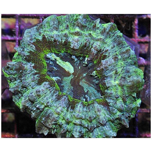 Acanthophyllia Deshayesiana (Green)