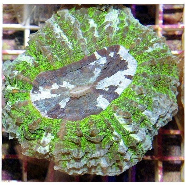 Acanthophyllia Deshayesiana (Ultra Green)