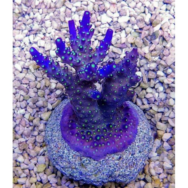 Acropora Spp. Coral Sea (Frag)