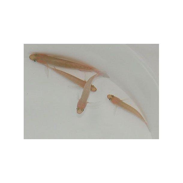 Amblygobius Decussatus