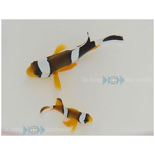 Amphiprion Chrysogaster (pair)