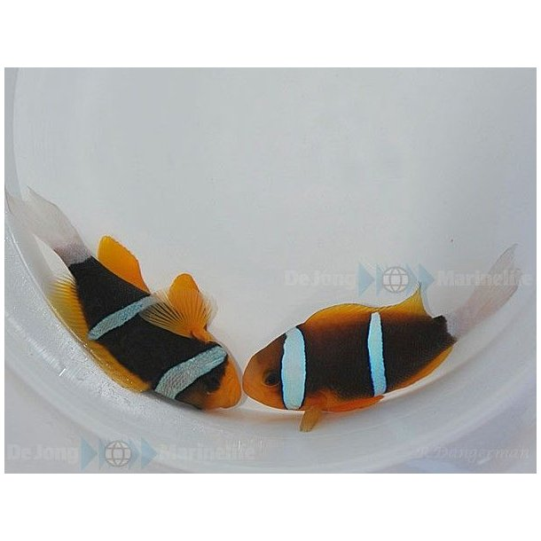 Amphiprion Chrysopterus (pair)