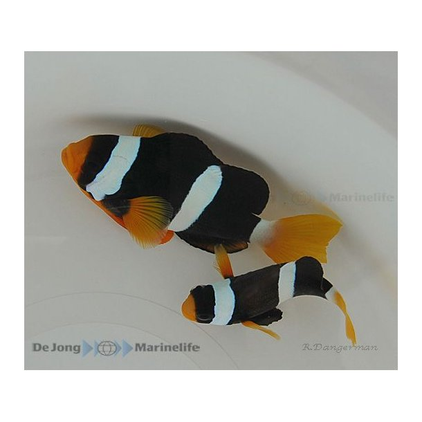 Amphiprion Clarkii (pair)