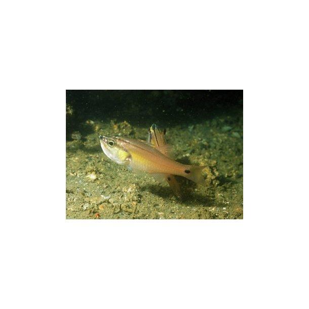Apogon Semilineatus
