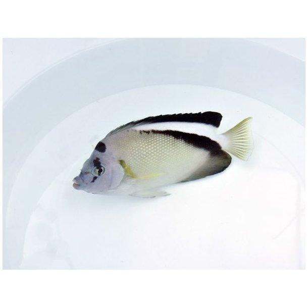Apolemichthys Griffisi