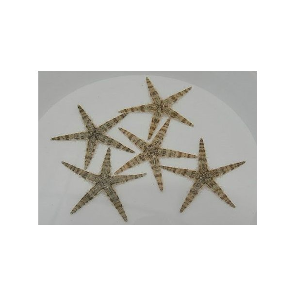 Archaster Typicus