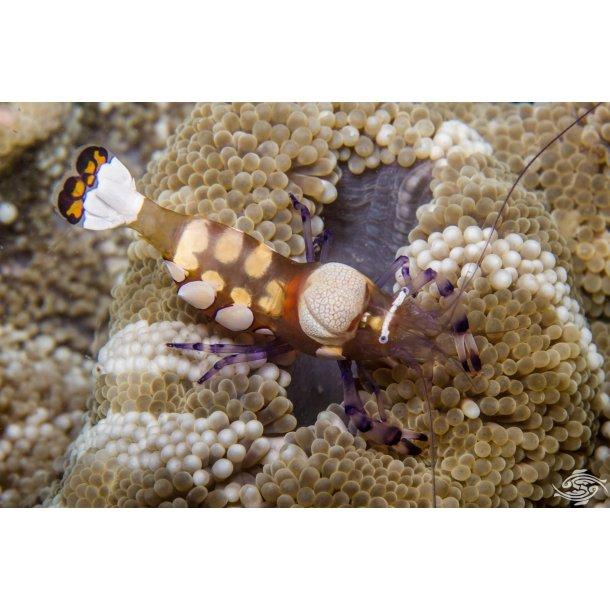 Anemone + Shrimp