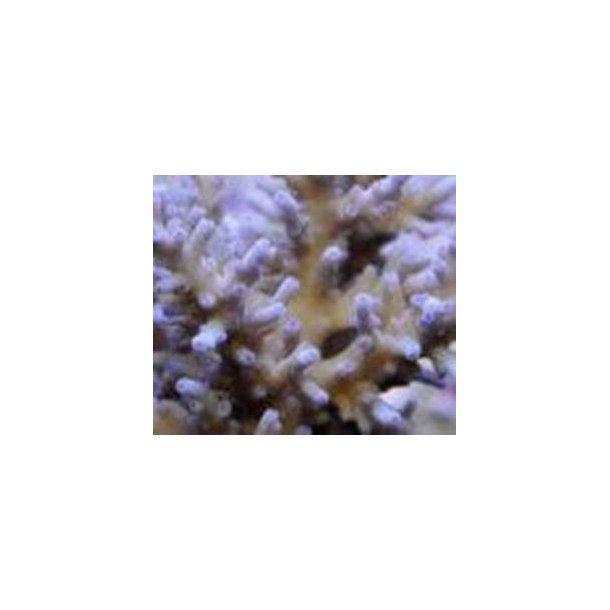 Acropora Batunai (A Grade)