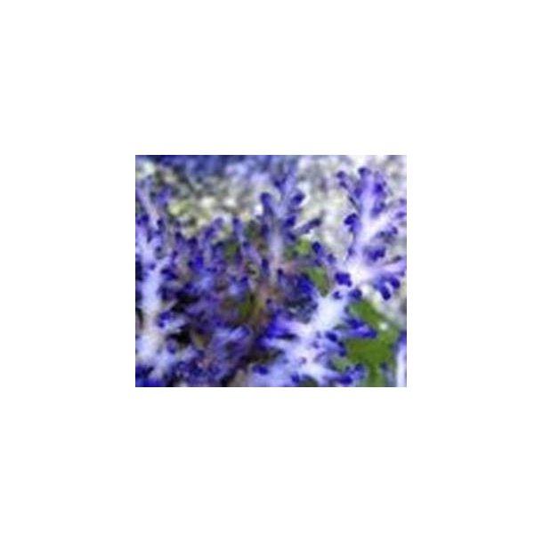 Acropora Echinata (A Grade)