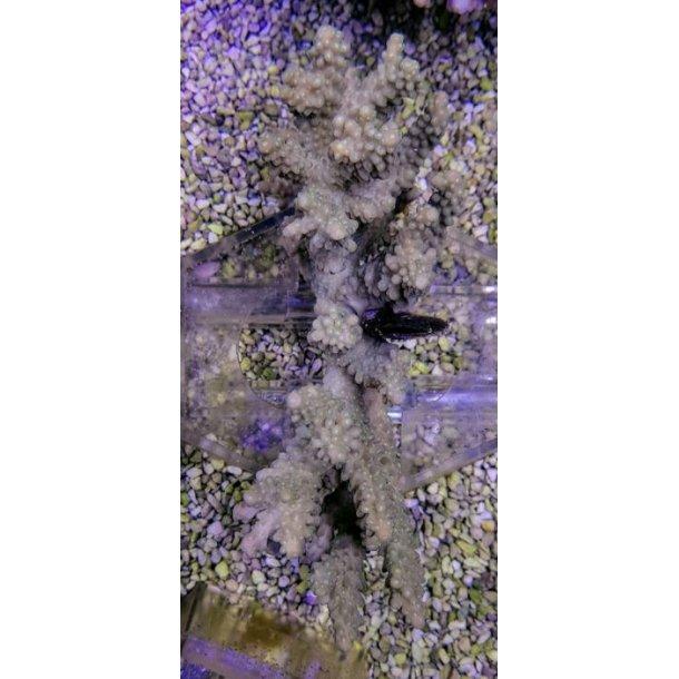 Acropora Spp. (Cream)