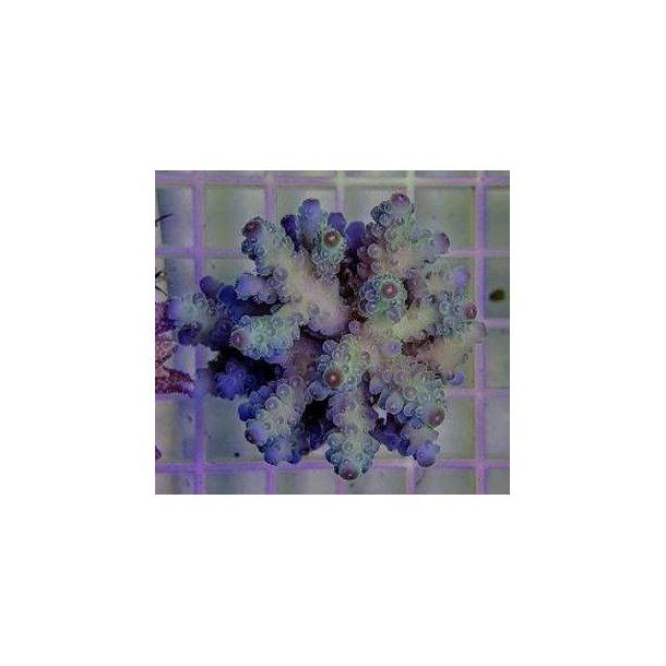 Acropora Tenuis Blueisch (A Grade)