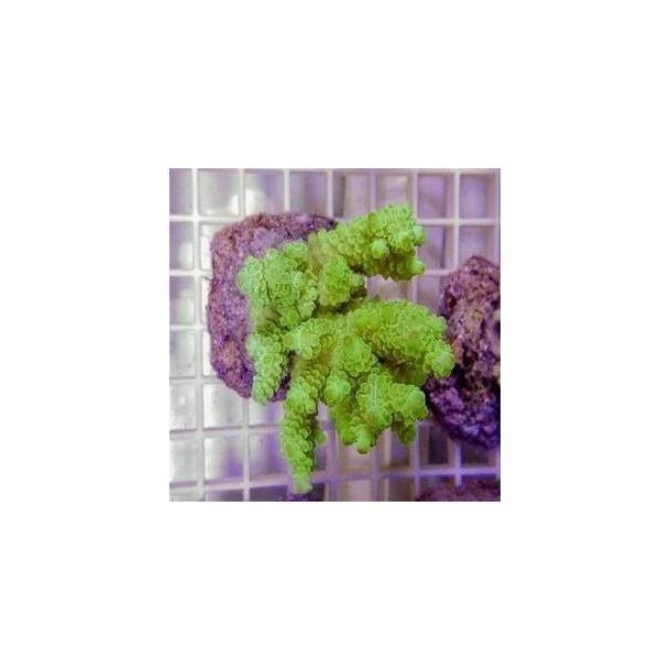 Acropora Tenuis Greenisch (A Grade)