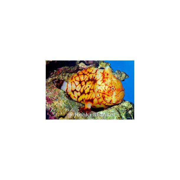 Antennarius Tuberosus