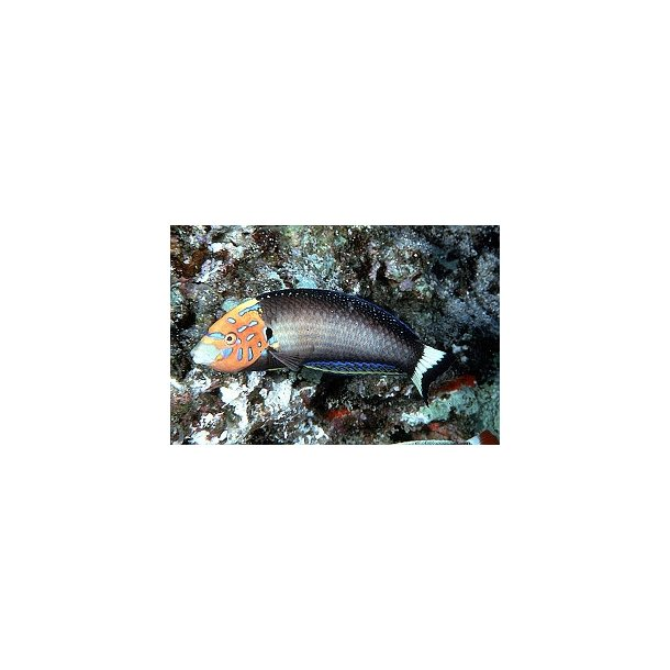 Anampses Chrysocephalus (male)