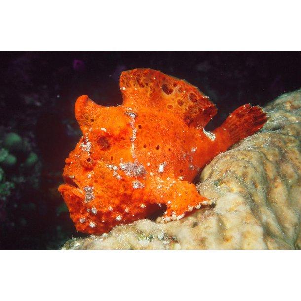 Antennarius Ocellatus