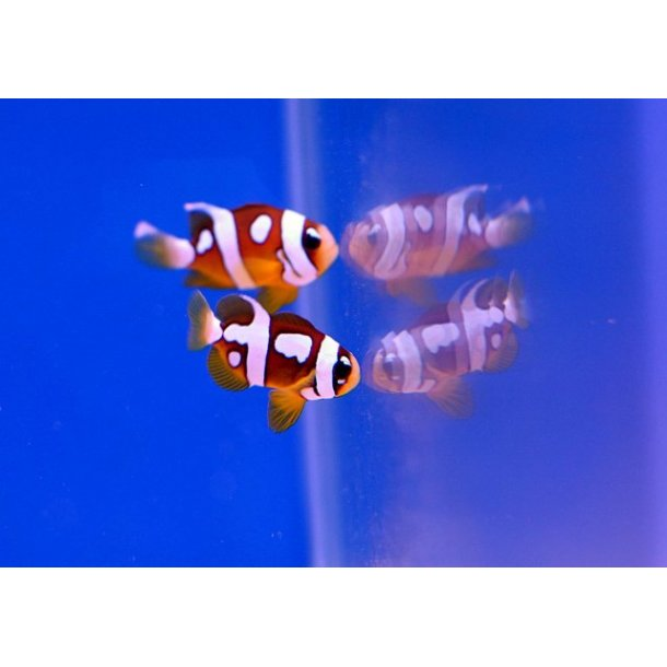 Amphiprion Clarkii (Picasso)